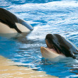 Stock Photo: Orcas playing in pool