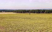 Sunflowers fields — Stock Photo