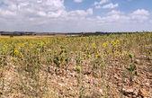 Sunflowers fiels — Stock Photo