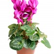 Cyclamen — Stock Photo #22188707