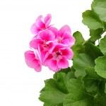 rosa geranio - pelargonium con foglie — Foto Stock