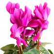 Cyclamen. — Stock Photo #24347595