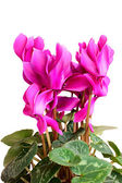 Cyclamen. — Stock Photo