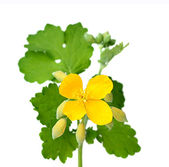 Celandine flowers with leaves. — Stock Photo