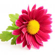 Small pink chrysanthemum close-up. — Stock Photo