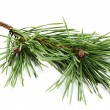 Stock Photo: Beautiful fir-tree branch.
