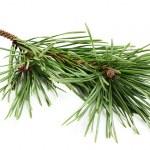 Beautiful fir-tree branch. — Stock Photo