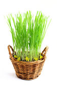 Growing grass in a basket. — Stock Photo