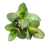 Beautiful fresh sprig of mint. — Stock Photo