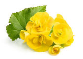 Yellow flowers Begonias with leaf. — Stock Photo