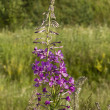 Stock Photo: Fireweed