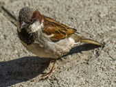 A sparrow — Stock Photo