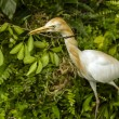 Cattle egret — Foto Stock