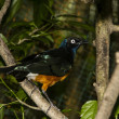 Stock Photo: Asifairy bluebird