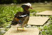 Mandarin duck — Stockfoto