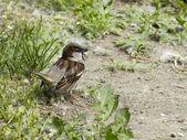 A sparrow — Stock Photo