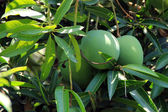 Green mangos — Stock Photo