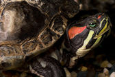 A turtle red eared slider — Stock Photo