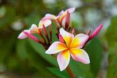 Frangipani thai flower — Stock Photo