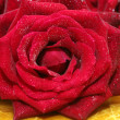 Stock Photo: Wet Red Rose on old wooden