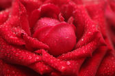 Close-up view of beatiful wet red rose — Stock Photo