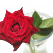 Stock Photo: Wet red rose in vase isolated on white background