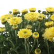 Stock Photo: Yellow chrysanthemum on white background