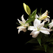White lilies isolated on black background — Stock Photo