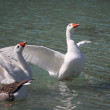 Geese swimming on the Lake Kournas, Crete, Greece — Stock Photo