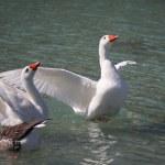 Geese swimming on the Lake Kournas, Crete, Greece — Stock Photo