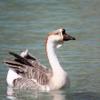 Geese on Lake Kournas, Crete, Greece — Stock Photo #13703995