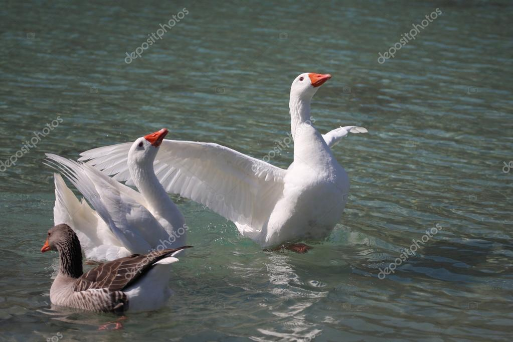 Geese swimming on the Lake Kournas, Crete, Greece  — Stock Photo #13703993