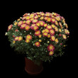 Red and yellow chrysanthemum in a pot isolated on black — Stock Photo