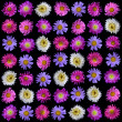 Royalty-Free Stock Photo: Collection of colorful asters flower isolated on black