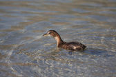 Little duckling swimming in water — Stock Photo
