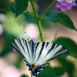 Butterfly Southern Swallowtail (Papilio alexanor) — Stock Photo