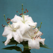 White lilies on blue background  — Stock Photo