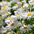 Meadow of white daisies flowers - Stock Photo