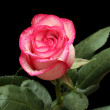 Pink rose isolated on black — Foto de stock #21374833