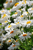 Meadow of white daisies flowers — Stock Photo