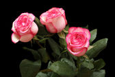 Pink roses isolated on black — Foto Stock