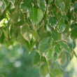 Stock Photo: Backgrounds of Benjamin ficus leaves