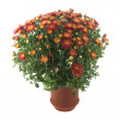 Red chrysanthemum in a pot — Stock Photo