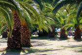 Palms trees in Rethymnon Crete, beach — Stock Photo
