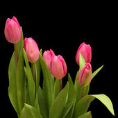Pink tulips on a black background — Stock Photo