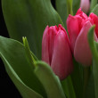 Bouquet of pink tulips on black background — Stock Photo