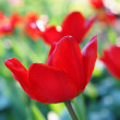 Red tulips in garden — Stock Photo #35765785