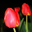 Red tulips in garden — Stock Photo #35765813
