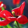 Red tulips in garden — Stock Photo #35765821