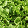 Bed with fresh green salad lettuce — Stock Photo